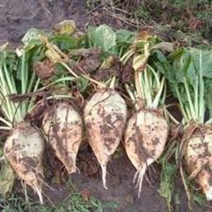Picture for category Fodderbeet