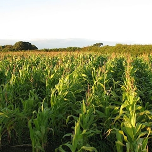 Picture for category Maize Seed