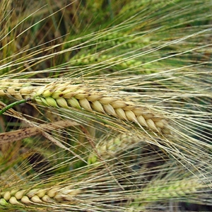 Picture for category Cereal, Pulse and Oil Seed