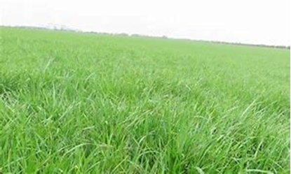Picture of Organic HI-D Late Header Grass Seed with White Clovers